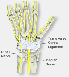 Hand Anatomy With Nerve