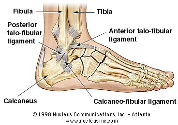 Anatomy of Ankle and Ligament