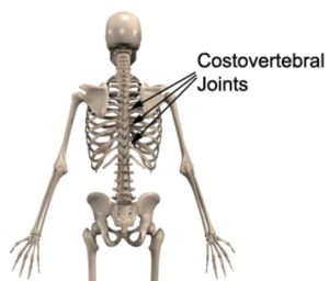 Costovertebral Joint