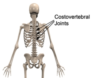 Costovertebral Joint