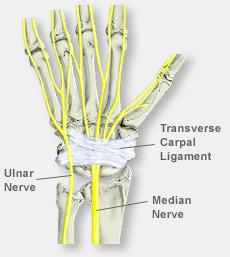 Hand Anatomy With Nerve